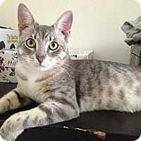 Adopt A Pet :: Tiberius - Brooklyn, NY