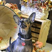 Adopt A Pet :: BO - Higley, AZ