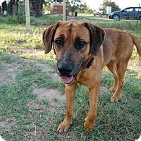 Adopt A Pet :: Goober - Georgetow, TX