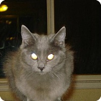 Domestic Mediumhair Cat for adoption in Canutillo, Texas - Spice