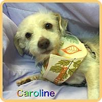 Adopt A Pet :: Caroline - Hollywood, FL