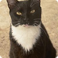 Domestic Shorthair Cat for adoption in West Palm Beach, Florida - Pirelli