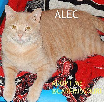 British Shorthair Cat for adoption in Holden, Missouri - Alec