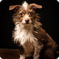 Adopt A Pet :: Davenport-MEET HIM - Norwalk, CT