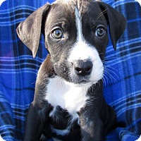 Adopt A Pet :: Royal Pup - Olaf - Adopted! - San Diego, CA