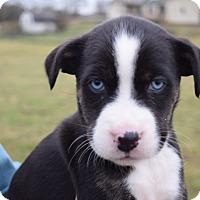 Adopt A Pet :: Iris $250 - Seneca, SC