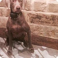 Adopt A Pet :: ELLIE - Dallas - Dallas, TX