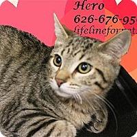 Adopt A Pet :: A Kitten Boy: HERO - Monrovia, CA