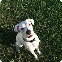 Adopt A Pet :: Big Max - FOSTER HOME NEEDED - Central & West Florida, FL