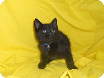 Domestic Mediumhair Kitten for adoption in Canal Winchester, Ohio - Pinto Bean