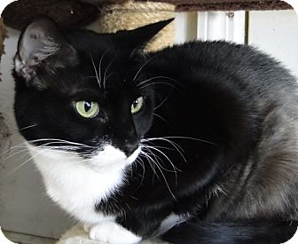 Domestic Shorthair Cat for adoption in Jackson, New Jersey - Porthos