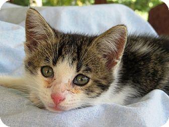 Domestic Shorthair Kitten for adoption in Somerset, Kentucky - Tuffy