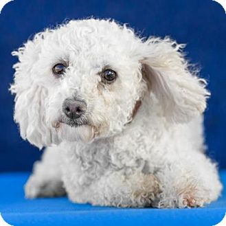 Miniature Poodle Dog for adoption in Colorado Springs, Colorado - Bashful