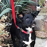 Adopt A Pet :: Duke - Buena Park, CA