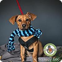 Adopt A Pet :: Scrappy Doo - Oceanside, CA