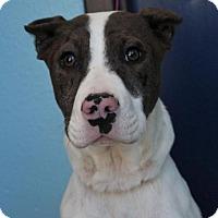Adopt A Pet :: SUZY - Red Bluff, CA