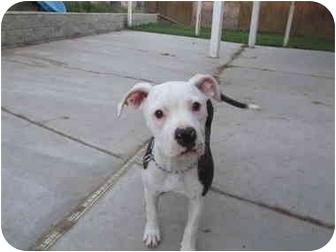 American Bulldog Puppy for adoption in Moreno Valley, California - Macey