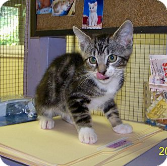 Domestic Shorthair Kitten for adoption in Dover, Ohio - Leland