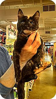 Domestic Shorthair Cat for adoption in Cranford/Rartian, New Jersey - Alicia