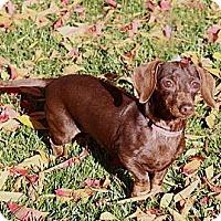 Adopt A Pet :: Fudge - San Jose, CA