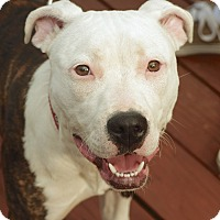 Adopt A Pet :: Dazzle - Reisterstown, MD