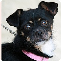 Chihuahua Mix Dog for adoption in Palmdale, California - Puppy