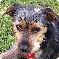 Adopt A Pet :: Dutch - Beavercreek, OH
