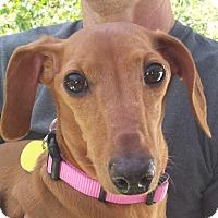 Adopt A Pet :: Lauren Holly - Decatur, GA