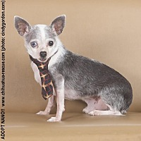 Chihuahua Mix Dog for adoption in Dallas, Texas - Nano
