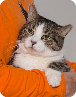 Domestic Shorthair Cat for adoption in Elmwood Park, New Jersey - Kyle