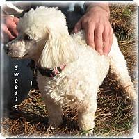 Adopt A Pet :: Sweetie - Adoption Pending - Marlborough, MA