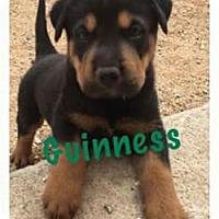 Adopt A Pet :: BP Guinness - Tucson, AZ