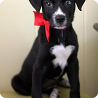 Adopt A Pet :: Lassy - Dalton, GA