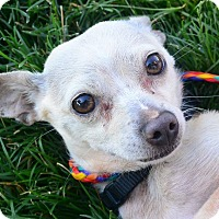 Adopt A Pet :: Teddy Bear - Meridian, ID