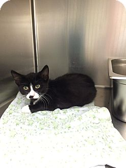 Domestic Shorthair Kitten for adoption in Lunenburg, Massachusetts - Checkers