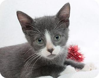 Domestic Shorthair Kitten for adoption in Raleigh, North Carolina - Opus K