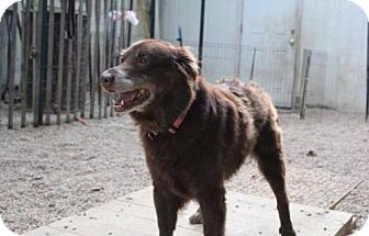 Labrador Retriever Dog for adoption in Matawan, New Jersey - Topaz