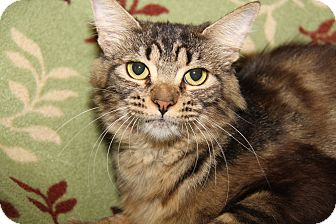 Domestic Mediumhair Cat for adoption in Marietta, Ohio - Duchess (Spayed)