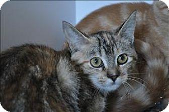 Domestic Shorthair Kitten for adoption in Hyde Park, New York - Nessa