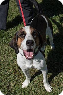 Greater Swiss Mountain Dog/Coonhound Mix Puppy for adoption in Buffalo, New York - Stitch: 11 months