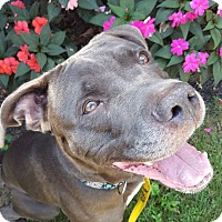 Adopt A Pet :: Pharaoh - Bloomfield, NJ
