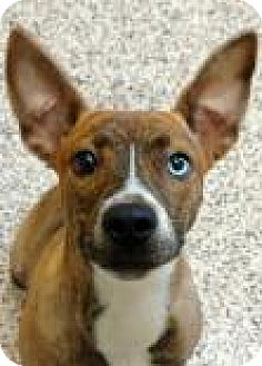 American Pit Bull Terrier Mix Dog for adoption in Aiken, South Carolina - Royal
