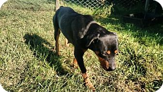 Rottweiler Mix Dog for adoption in Valley Falls, Kansas - Willow