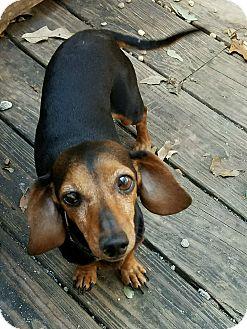 Dachshund Dog for adoption in Decatur, Georgia - Josephine