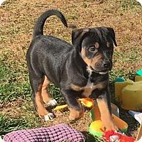 Adopt A Pet :: Romi - Mechanicsburg, PA