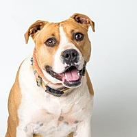 American Staffordshire Terrier Mix Dog for adoption in Santa Paula, California - Tina