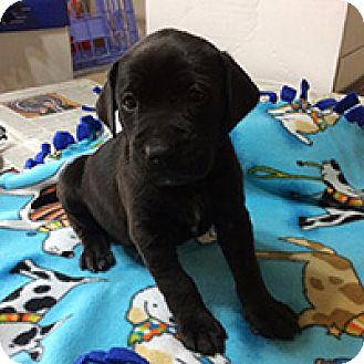 Boxer/Shepherd (Unknown Type) Mix Puppy for adoption in Chantilly, Virginia - Hazel Grace's Harrison
