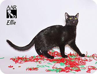 Domestic Shorthair Kitten for adoption in Tomball, Texas - Ellie
