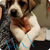 Adopt A Pet :: Hal - Overland Park, KS