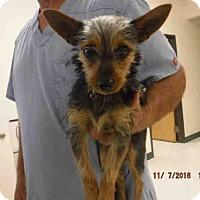 Adopt A Pet :: A571592 - Oroville, CA
